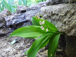 more of this sweet lily of the valley in the rocks