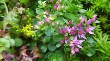 sedums in bloom