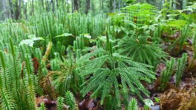 mosses like trees