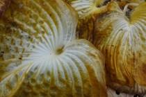 hosta brittle