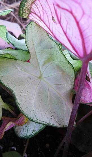 light caladium