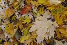 Newly fallen leaves
