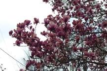 magnolia-04