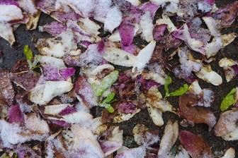 magnolia snow and snow snow