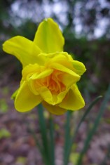 double smiles daffodil