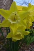 pipit daffodils