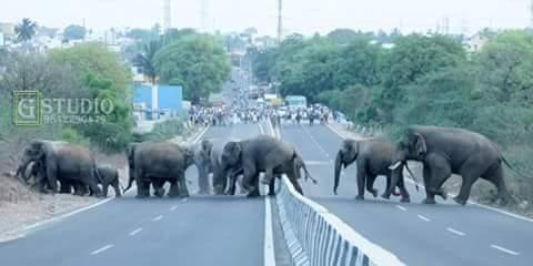 Elephants @Madhukarai