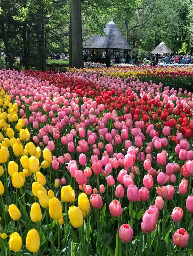 Parco Keukenhof in Olanda ha 7 milioni di bulbi (soprattutto tulipani) che ogni anno lasciano senza parole i turisti