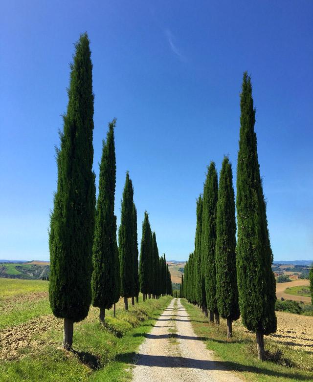 I filari di cipressi simbolo della Toscana si possono trovare nelle colline nei dintorni di Siena