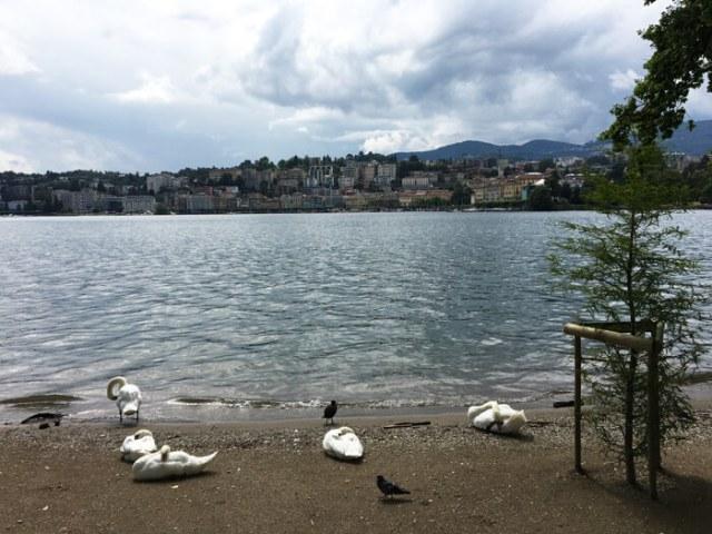 A Parco Ciani a Lugano puoi vedere i cigni riposare