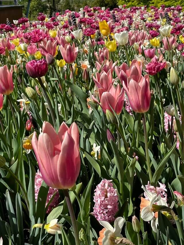 Dove vedere i tulipani in Italia? Nei giardini Trauttmansdorff a Merano