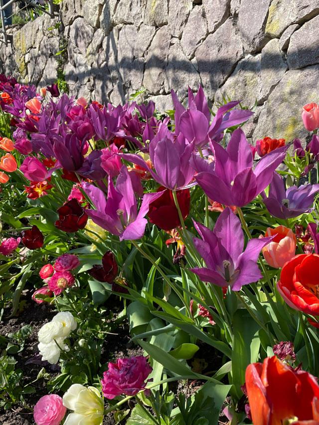 I giardini Trauttmansdorff hanno tanti tulipani in primavera