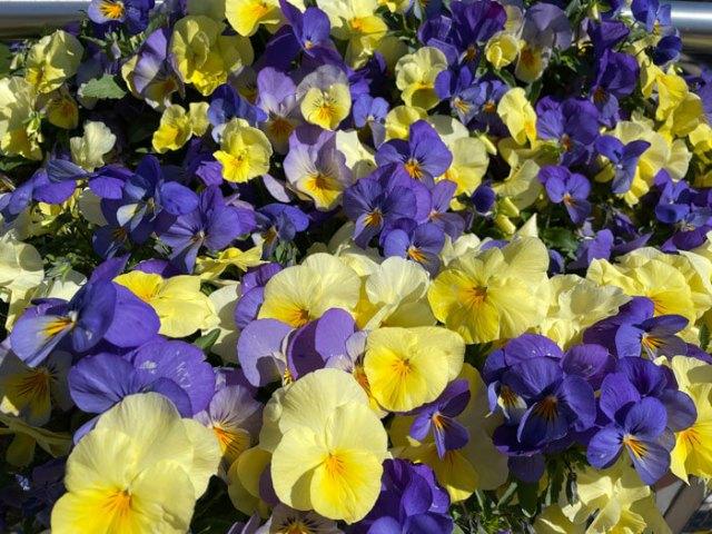 Violette gialle e viola decorano l'ingresso ai giardini Trauttmansdorff a Merano