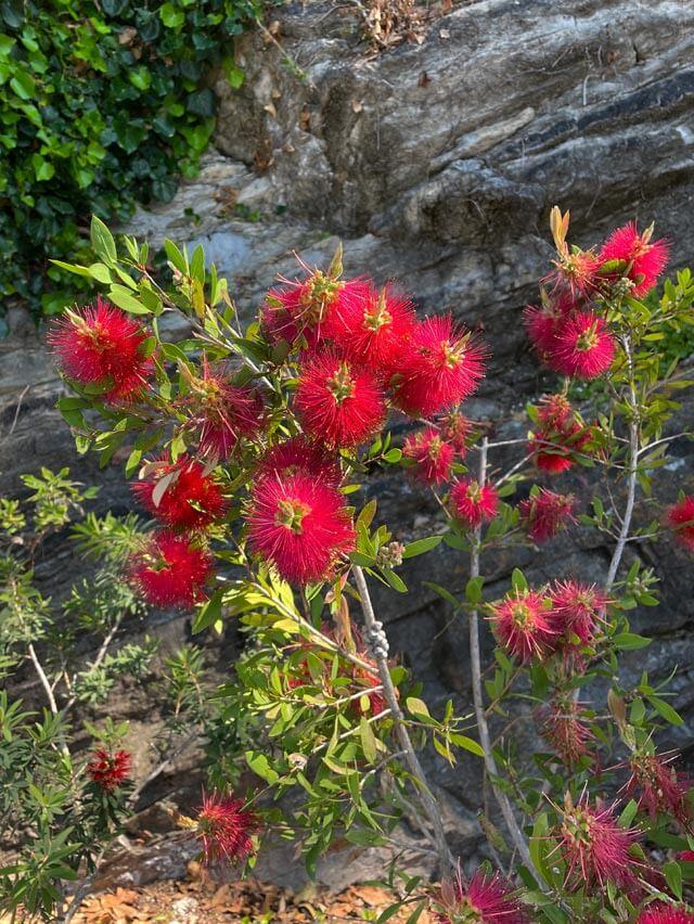Il Callistemon è tra le piante esotiche del giardino di Villa Pizzo a Cernobbio