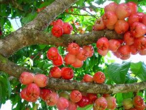 curacaoseappelboom