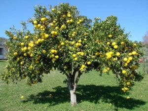 grapefruitboom