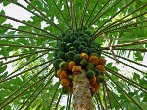 papajaboom