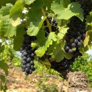 Maturité raisin