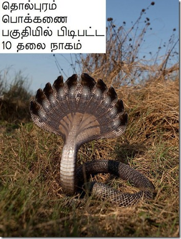 TEN_HEADED_COBRA_JAFFNA_SRILAN