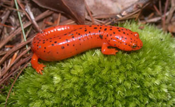 Image result for red salamander scientific name