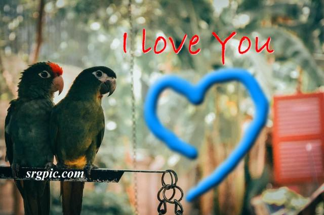 green-parrots-with-i-love-you
