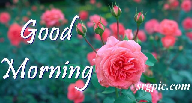 pink-petaled-positive-morning-quotes