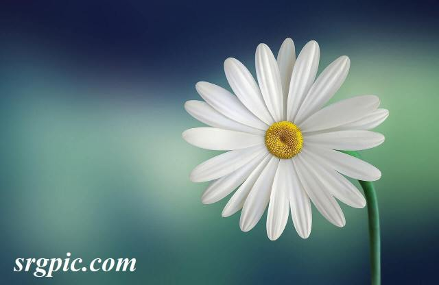 white-and-yellow-flower-plain-backgrounds