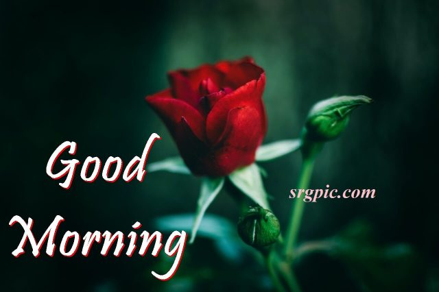 goodmorning-wishes-with-red-rose