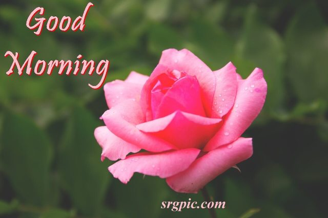 pink-rose-morning-wishes