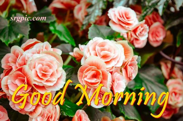 rose-guljasta-with-good-morning-wishes