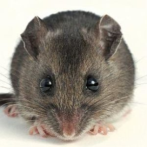 Hantavirus Death Reported in Spokane County; Man Likely Exposed in ...