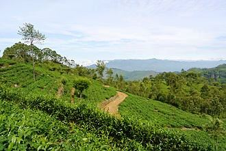 Tea_plantation_Haputale Sri Lanka Island Tours