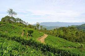Tea_plantation_Haputale Sri Lanka Island Tours