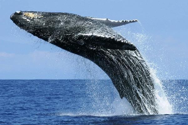 sri lanka blue whale