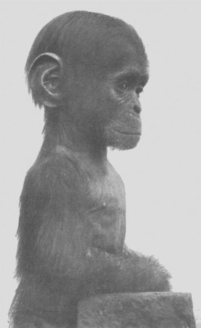 Chimpanzé juvénile, Adolf Naef 1926