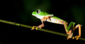 bwilson-treefrog
