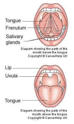 Labelled Diagram Of Tongue : labelled, diagram, tongue, Sensory, Organ, Tongue, SSDS-Science