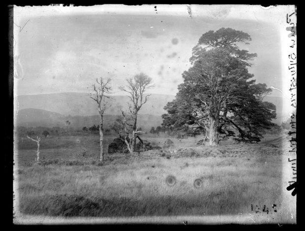 Edward James Salisbury. From 1237-1249-Aviemore. Pinus silverstris [illeg]. Plate n°1245