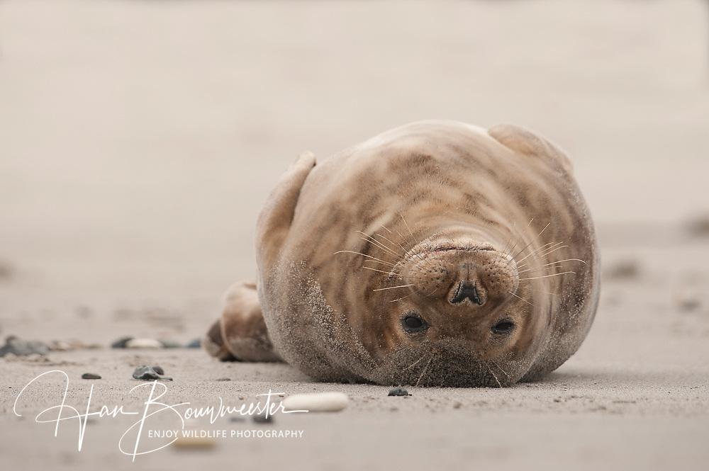 grijze zeehond grey seal Halichoerus grypus kegelrob