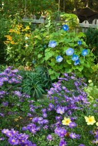 Fall autumn flower garden with morning glory vine Ipomoea ...