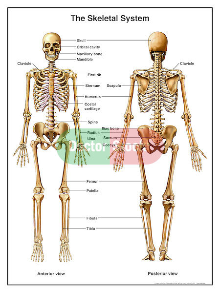 human skeleton diagram without labels front toyota land cruiser electrical wiring anatomy of the skeletal system | doctor stock