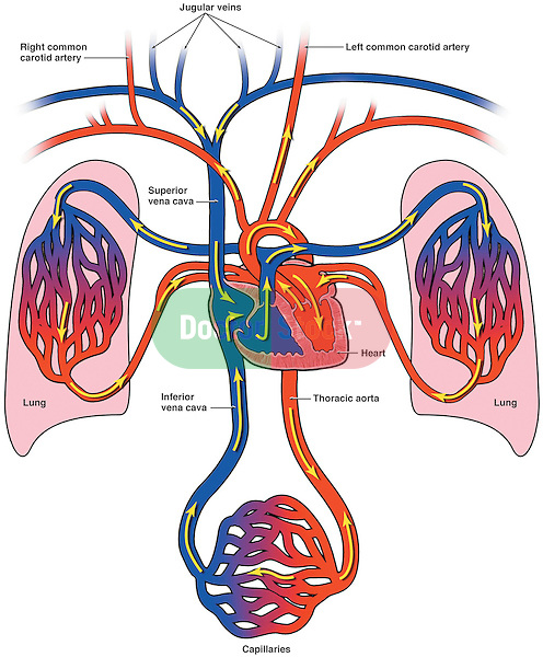diagram of lymph nodes in neck and head auto electrical wiring diagrams bloodflow to the heart, lungs body   doctor stock