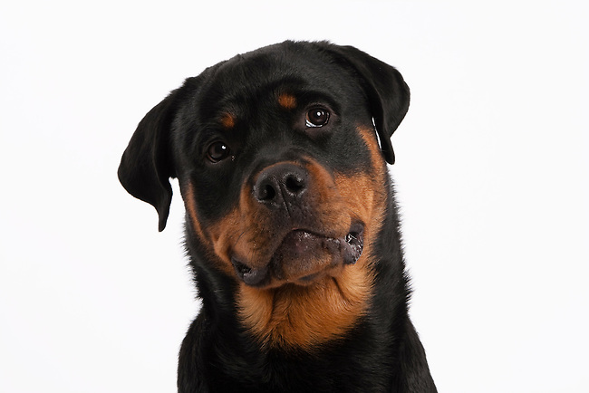 Rottweiler Fall Wallpaper Slim Rottweiler Dog Head Shot On White Background