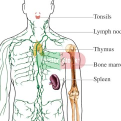 Where Are My Lymph Nodes Diagram Cell Phone Network Lymphatic Organs | Doctor Stock