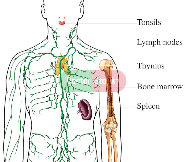 where are my lymph nodes diagram venn problems with solutions pdf lymphatic organs | doctor stock