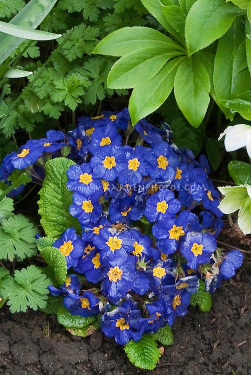 primroses piano blue plant