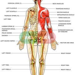 Diagram Of Sciatic Nerve Leg Wiring For Farmall H Human Anatomy - Muscles The Back | Doctor Stock