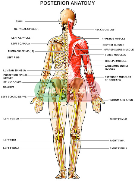 upper arm muscles diagram mobile block circuit human anatomy - of the back | doctor stock