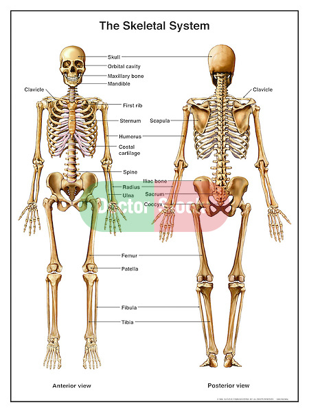human skeleton diagram without labels front rv battery bank wiring anatomy of the skeletal system | doctor stock