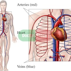 Human Vascular Anatomy Diagram Westinghouse Oven Element Wiring Circulatory System | Doctor Stock